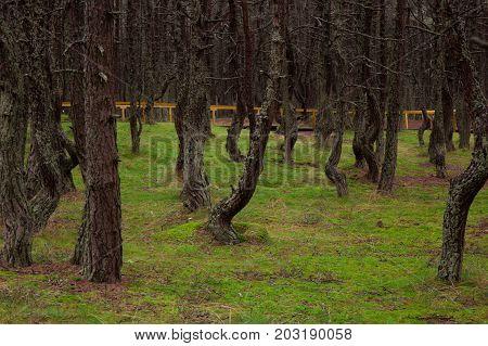 Dancing forest of Curonian spit Kurshskaya kosa Kaliningrad Russia
