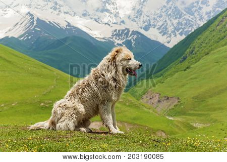Caucasian sheep dog for the guard of cattle in village Ushguli. Svaneti, Georgia