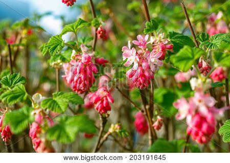 Ribes Flowering Currant In A Public Park