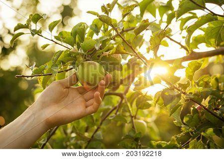 Closeup of Man Farmer Hand Picking Fresh Ripe Green Apples in Garden DayLight Healthy Life Autumn Harvest Concept