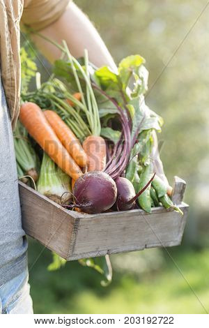 Closeup of Man Farmer Holding Fresh Ripe Vegetables in Wooden Box in Garden DayLight Healthy Life Autumn Spring Harvest Concept Copy Space