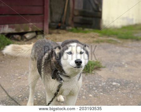 A dog tethered with a metal chain near a barn