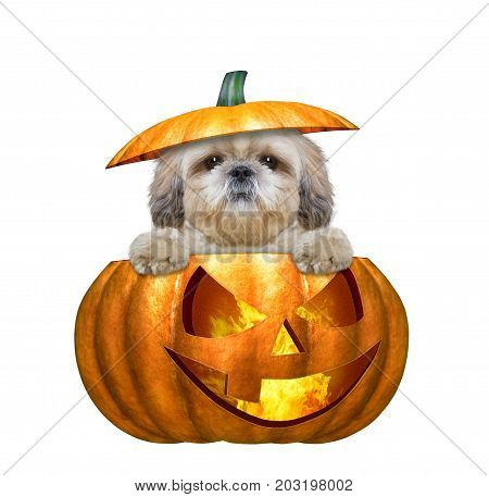 halloween pumpkin witch cute dog - isolated on white background