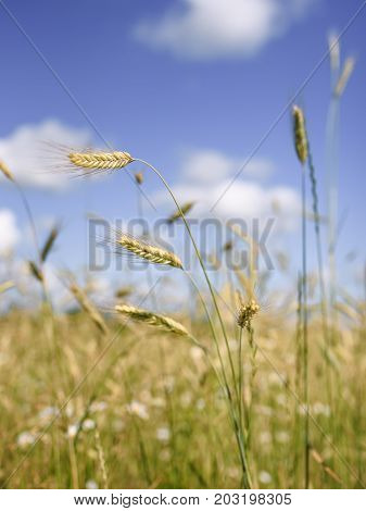 Vertical shot of spikelets of wheat on a background of wheat fields and bright blue sky with white clouds in blur