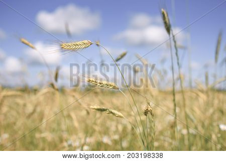 The horizontal shot of spikelets of wheat on a background of wheat fields and bright blue sky with white clouds in blur