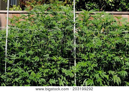 Image of a Huge Marijuania Plant at 12ft showing the netting procedure.