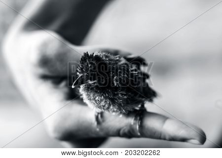 Baby Bird Sitting On Human Hand Watching For His Mother.