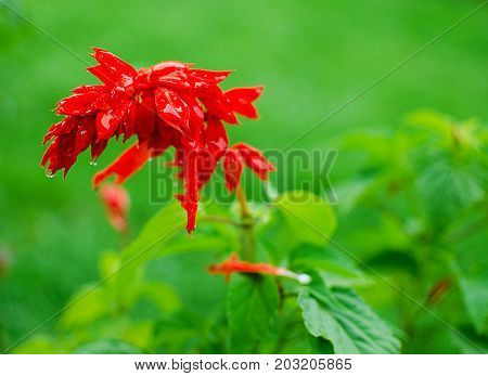 Flowers Of Red Salvia After The Summer Rain