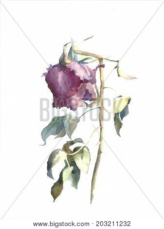 Watercolor illustration of wilted rose. Watercolor painting. Floral watercolor illustration.