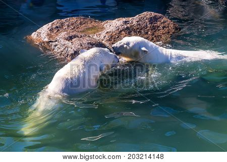 Polar bear or Ursus maritimus playing together in water