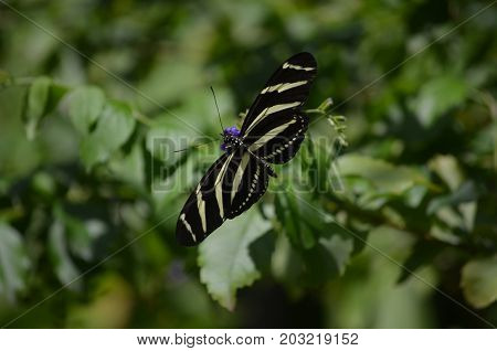 Pretty Wingspan of this Zebra Butterfly on Some Flowers