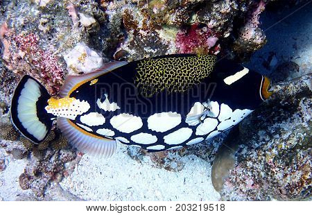 Clown triggerfish Balistoides conspicillum also known as the Bigspotted triggerfish