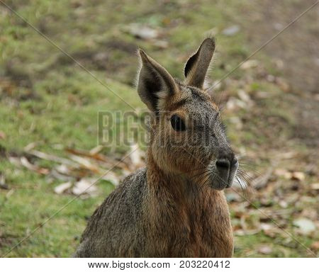 An Adult South American Mara Patagonian Hare.