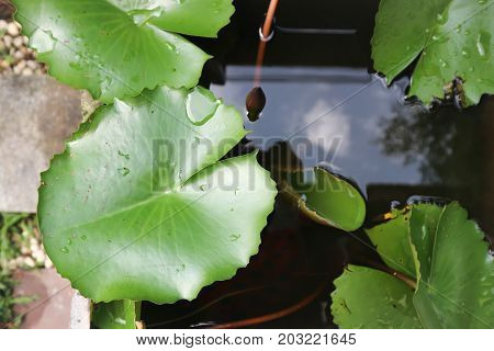 lotus leaf and budding lotus in the pond