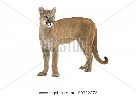 Mountain lion standing upright, isolated on a white background.