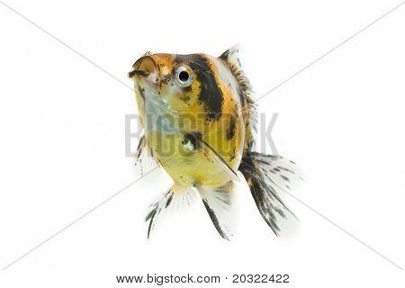 Calico ryukin goldfish swiming against white background.