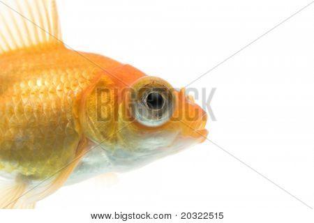 Close-up of demekin goldfish against white background.