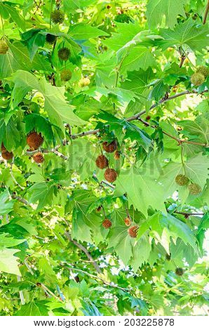 Brown Fruits Of Platanus Tree, Branches With Green Leafs