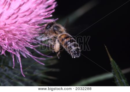 Honeybee11