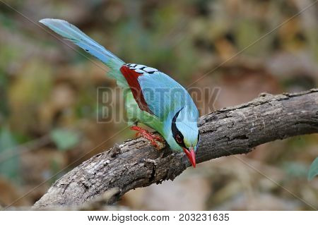 Common Green Magpie Cissa Chinensis Beautiful Birds Of Thailand