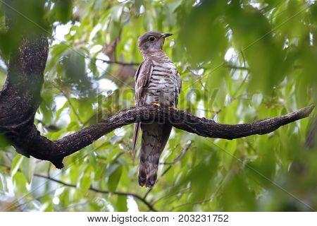 Indian Cuckoo Cuculus Micropterus Cute Birds Of Thailand