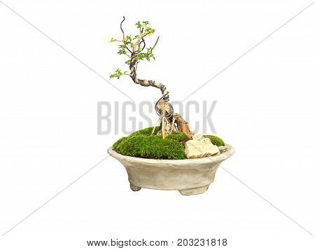 Little green bonsai tree isolated on white background. Bonsai is Japanese art form using trees grown in containers.