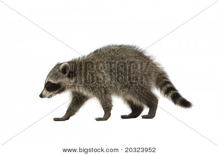 Raccoon walking on a white background