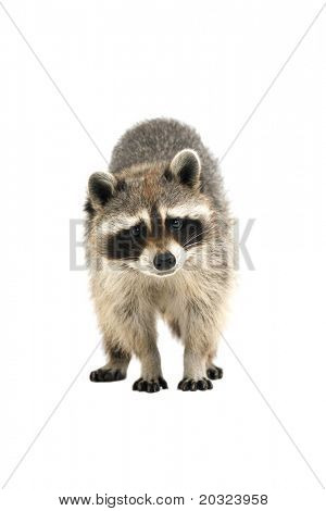Raccoon making eye contact with the camera, isolated on a white background