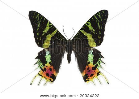 Top view of a large male day flying moth from madagascar isolated on a white background