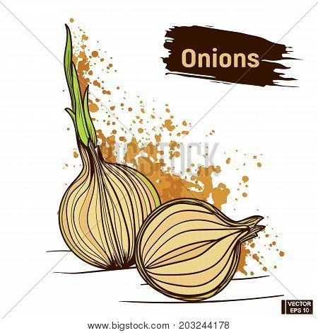 Onions, Colors Hand Drawing