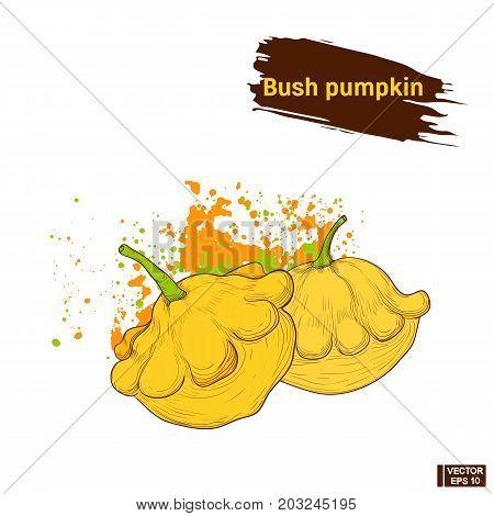 Bush Pumpkin, Colors Sketch.