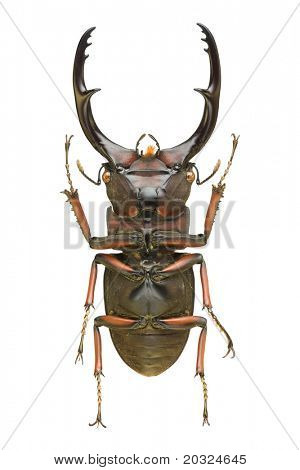 Bottom view of a large stag beetle (Cyclomatus elephus) from the  Lucanidae family originating from Indonesia