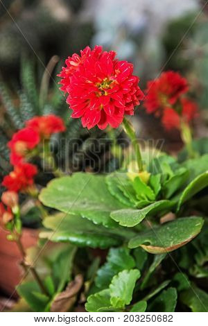 Detail photo of red dahlia flower. Natural scene. Herbaceous perennial plant.