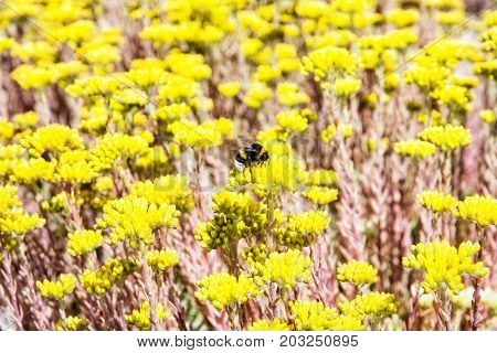 Bumble-bee and yellow sedum flowers. Detailed natural scene. Fauna and flora. Photo filter.
