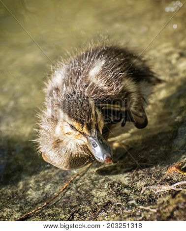 Mallard duckling - Anas platyrhynchos - in the water. Young one. Detailed natural scene.
