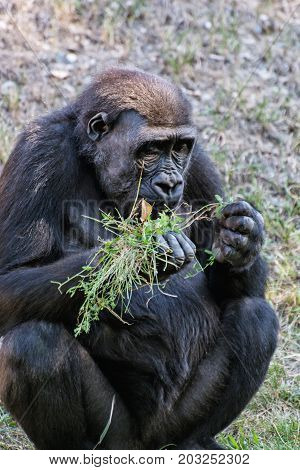 Hungry Western lowland gorilla - Gorilla gorilla gorilla - is feeding. Animal scene.