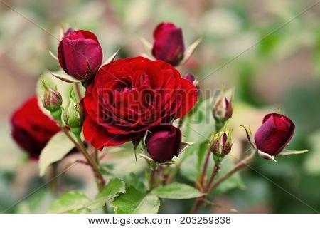 Blooming maroon roses landscape. Summer garden floral scene. Soft bokeh photo