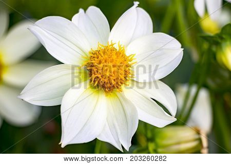 Beautiful white dahlia flower. Dahlia in the garden