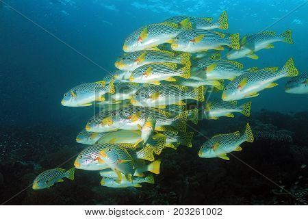 School of Diagonal-banded Sweetlips (Plectorhinchus lineatus aka Yellowbanded Sweetlips). Dampier Strait Raja Ampat Indonesia