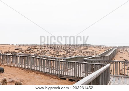 CAPE CROSS NAMIBIA - JUNE 29 2017: A boardwalk and thousands of Cape Fur Seals at the seal colony at Cape Cross on the Skeleton Coast of Namibia