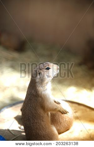 Prairie Dog standing up on a wooden plate.