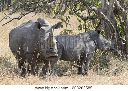 female and a cub of a southern white rhinoceros standing in the shade of a bush in a bush savannah