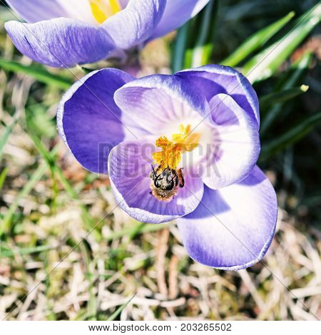Honey bee - Apis mellifera pollinate Crocus heuffelianus flower. Beauty photo filter. Spring time scene.