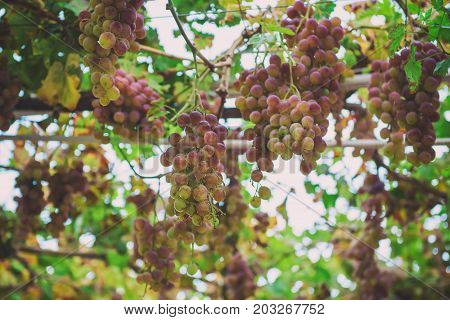 Clusters of fresh ripe sweet grape growing in the garden, agricultural vintage organic natural background