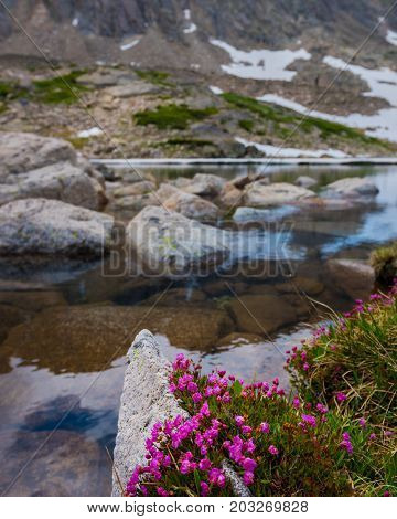 Kalmia Microphylla Alpine Laurel Flowers