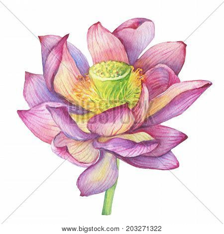 Pink flowers lotus (water lily, Indian lotus, sacred lotus). Watercolor hand drawn painting illustration isolated on white background. For invitations, greeting cards, textile design, package.