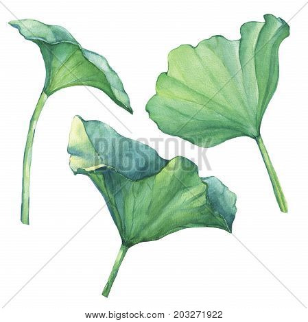 Lotus leaves (water lily, Indian lotus, sacred lotus). Watercolor hand drawn painting illustration isolated on white background. For invitations, greeting cards, textile design, package.