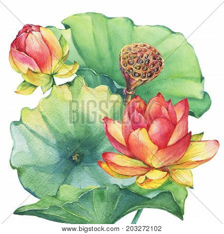 Poster, arrangement of pink lotus flower with leaves, seed head, bud (water lily, Indian lotus, sacred lotus, Egyptian lotus). Watercolor hand drawn painting illustration isolated on white background.