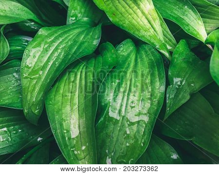 Wet green leaves in drops of water, natural plant green background