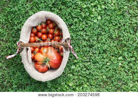 top view of a basket full of red tomatoes picked from the outside garden on green grass background